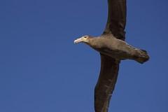 Gliding (Thom Gibbs) Tags: canon giant eos rebel islands bay kiss surf wildlife southern thom gliding falklands gibbs falklandislands t3i x5 falkland petrel islasmalvinas 600d surfbay kissx5 thomgibbs