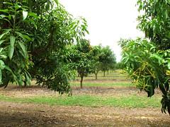 mareeba orchard5 (Parto Domani) Tags: trees tree sunshine alberi arbol arboles state farm australia orchard business arbres mango qld queensland aussie biz economic  albero bume economy arbre baum economics economia  agricoltura frutteto    agricolo coltivazione coltivazioni coltivare