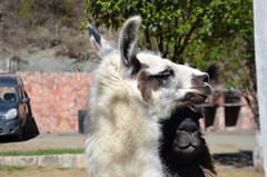 Llama (Rodrigo Soldon 2) Tags: llama lama glama south american camelid animalia mamífero artiodáctilo doméstico camelidae los andes peru chile bolívia ecuador argentina salta ruminante da américa do sul animal animália tier reino natureza 名词 nature طبيعة aard 性質 natur 성격 φύση natura природа naturaleza প্রকৃতি 大自然 자연 प्रकृति naturae mundo tierwelt monde world 動物の世界 retrato de portrait closeup