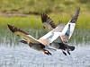 Cauquenes cabeza gris (Jose Lozada (Argentina)) Tags: cauquenes cabeza gris ave bird neuquen caviahue gansos goose