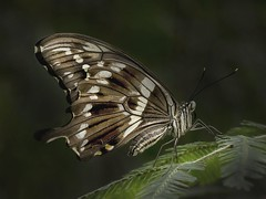 Tailed Jay Graphium agamemnon (barriebrown) Tags: wisley butterflies tailedjay nature macro