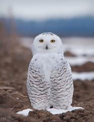 Snowy Owl (Nick Scobel) Tags: blurred highquality snowy owl bubo scandiacus michigan snow winter cold white christmas farmland pasture irruption migration bird arctic