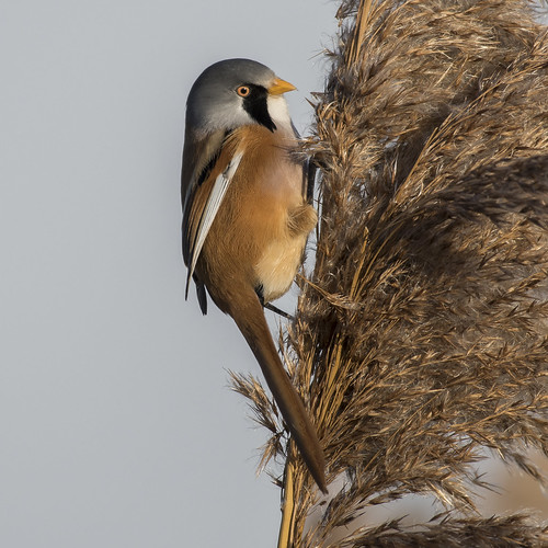 (044) Bird - Bearded Tit (Reedling) - Oulton Marshes