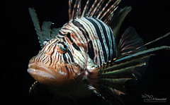 Lionfish (Paula Darwinkel) Tags: lionfish aquatic life fish aquarium fishtank sea ocean animal nature