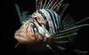 Lionfish (Paula Darwinkel) Tags: lionfish aquatic life fish aquarium fishtank sea ocean animal nature