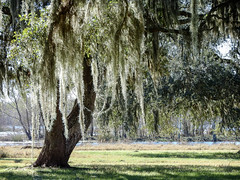Southern Live Oak and Spanish Moss (DigitalLyte) Tags: tree southernliveoak spanishmoss sunlight backlit river lake riparian woodland