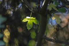 (C-47) Tags: leaves colors helios 442 canon eos 7d mk mark ii m42 bokeh green plant nature beautiful leaf