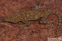 Rhoptropus barnardi - Barnards' Namib Day Gecko. (Tyrone Ping) Tags: rhoptropus barnardi barnards' namib day gecko herps herpetology geckos namibia nature herping south southafrica southafricanreptiles canon canon7d 100mmmacrof28 macro mt24ex twin flash wwwtyronepingcoza tyroneping