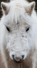 Shetland pony. (carolinezy) Tags: pony shetland horse fluffy white dof d700 tamron 70300 face shetty