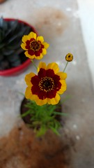 pequenina (Rodrigo Ribeiro) Tags: flor flores flower nature natureza garden gardening jardim jardinagem