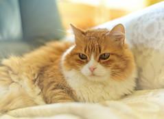 Moustiquette (Sizun Eye) Tags: cat chat portrait nikond750 nikon d750 sizun sizuneye nikon50mmf18 50mm nikkor