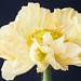 Yellow+poppy
