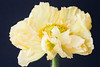 Yellow poppy (rick ligthelm) Tags: yellowpoppy poppy papaver yellow flower fleur blume bloem macro closeup