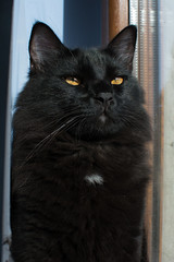 Conan (Zuncra*) Tags: cat gato gatonegro animal conan felino mew