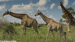 Trío de Jirafas (artabracelta) Tags: jirafas giraffes animal africa sudafrica southafrica safari travel satara kruger nature naturaleza portrait retrato paisaje nikon d5100 teleobjetivo tamron 70300 viaje verano summer