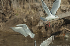 ALI   ---   WINGS (cune1) Tags: uccelli birds italia italy lazio salineditarquinia natura nature animali animals acqua water