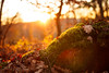 Autumn Warmth (thethomsn) Tags: warmth moss leaves leaf ground forest backlight light sunset sundown wald boden blatt fall herbst season autumn bokeh dof 30mm thethomsn nature outdoors goldenhour