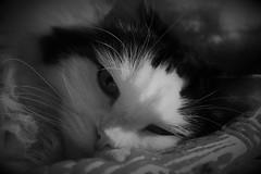 IMG_0378 (ornella sartore) Tags: gatti natura particolari bianco nero