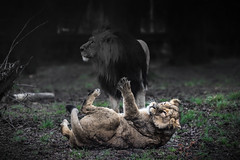 Rolling Over (jamesromanl17) Tags: nature cat animals canon zoo africa wildlife eos lion lions 200mm