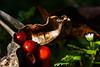DSC04881_edited (François wry) Tags: baies fruit rouge fleur feuille marron automne hver hiver pourri moisissure champigon champignon peau pépin