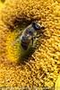 sunflower with Eristalis tenax BRI_6990.jpg (ImaginingsLifeImages) Tags: asteraceae heliantheae helianthus animalia cottage eristalis eristalinae australia floraandfauna fly northerntablelands newengland wildlife animals fauna places eristalini flowers anthemideae cyclorrhapha arthropoda home syrphoidea woodville asteroideae garden tenax insecta syrphidae flora insect diptera nature sunflower flies brachycera armidale nsw asterales armidaleregion
