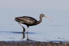 Glossy Ibis (Gary McHale) Tags: glossy ibis myakka river state park florida