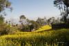 Mustard Field (Bina Bantawa) Tags: landscape kavre nepal agriculture crops mustard mustardfield