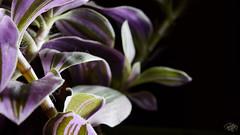 Amethystine-emerald beauty (Wergiliusz) Tags: amethyst emerald closeup plant macro jupiter8 cccp analog vintage indoor studio arranged session