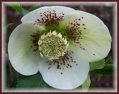 Hellebore (ERIK THE CAT Struggling to keep up) Tags: flowers estate hellebore doublefantasy ngc npc