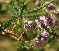 Pink feather flowers (derekngill) Tags: kingspark wildflowers