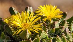 Interesting succulent (Johan Grobbelaar) Tags: cactus geel yellow