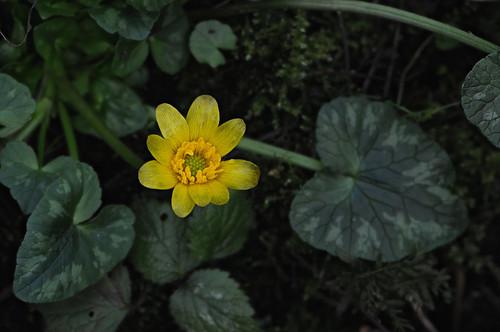 Lesser Celandine - Ficaria verna