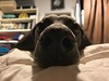 N.O.S.E. (VanaTulsi) Tags: vanatulsi weim weimaraner dog blueweim blueweimaraner