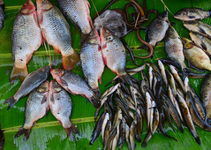 Fresh fish at the local market in Asia city (phuong.sg@gmail.com) Tags: abstract animal asian background bright burma cook diet element environment fish fishing foliage food fresh global green growth health healthy isolated leaf life mackerel market mekongdelta myanmar natural nature outdoors palm pattern protein ribbon sea seafood spring summer texture thailand tropical vietnam