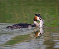Grebe with fish (Ann Jacobs) Tags: roach fishing grebe lake