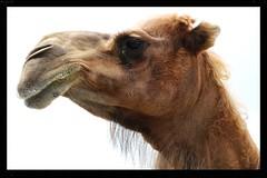 Chameau d'Arabie, Arabian Camel (in Explore) (francepar95) Tags: closeup dromedary profil dromadaire