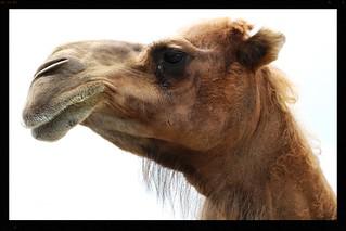Chameau d'Arabie, Arabian Camel (in Explore)