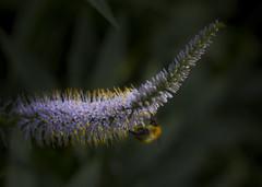 OK, U can B in my Photo (shawn~white) Tags: plant flower macro insect scotland edinburgh place unitedkingdom bee royalbotanicgardens flickrgroup shawnwhite bokehlicious canon6d macroflowerlovers macrounlimited macrodreams shawnraisindp
