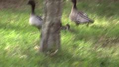 Australian Wood Duck Family - 2015.09.12  (1) (Brissy Girl - Jan Anderson) Tags: woodduck manedduck chenonettajubata australianwoodduck manedgoose familyanatidae seqldaustralia