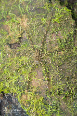 Long-legged water spider (Syntrechalea sp.) - DSC_1346 (nickybay) Tags: macro peru water spider amazon lichen tambopata longlegged peruvianamazon tambopataresearchcenter trechaleidae syntrechalea