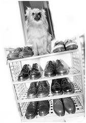 Boo the Pomeranian and them shoes. (CWhatPhotos) Tags: pictures original etched dog 3 macro feet me leather tattoo that foot shoe three photo pom mine foto with hole photos dwarf dr air picture canine joe tattoos wear collection have doctor footwear fotos z comfort pomeranian sole doc cushion marten which soles dm spitz stud docs laces studs contain drmartens bouncing airwair pompom docmartens welt martens dms laced studded tattooed darci drmarten pomeranium cushioned 1461 wair bouncingsoles zwergspitz cwhatphotos 1461s dwarfspitz littledoglaughedstories drmartendarci
