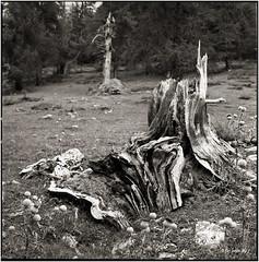 Life is over_Hasselblad (ksadjina) Tags: 6x6 film analog blackwhite carinthia scan 150 hasselblad500cm silverfast kodak400tmax 10min nationalparkhohetauern adoxaph09 nikonsupercoolscan9000ed