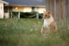 3B5A0909 (adameros) Tags: yard cat feline tabby 85mm dandelions petzval