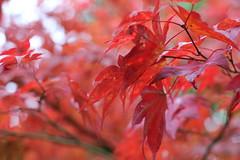 japanse tuin okt 2015 05 (gabrielgs) Tags: autumn colors japanese japanesegarden forrest herfst thenetherlands denhaag bos thehague clingendael japansetuin
