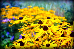 October light. (Papa Razzi1) Tags: flowers autumn yellow october djurgrden 2015 storaskuggan 5917 277365