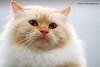 IMG_7494a_c (JANY FEDERICO GIOVANNINETTI) Tags: hairy cats cat hair eyes funny soft sweet expressions occhi international felini gatto gatti divertenti pelosi pelo dolci pedigree internazionale sguardi espressioni razza soffice soffici