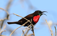 Scarlet-chested sunbird, Chalcomitra senegalensis, at Lake Chivero, Harare, Zimbabwe - male (Derek Keats) Tags: bird nature zimbabwe scarletchestedsunbird chalcomitrasenegalensis nectariniidae taxonomy:family=nectariniidae taxonomy:binomial=chalcomitrasenegalensis