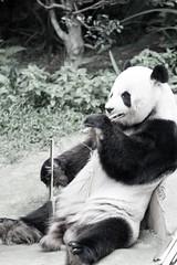 Bamboo Lunch (saish746) Tags: china california bear white black cute green nature animal canon giant mammal zoo is log panda fuzzy outdoor centre conservation national malaysia kualalumpur usm kl xing pandas negara ef70200mm f4l
