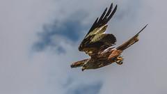 Dive Dive (davidrhall1234) Tags: bird nature birds nikon wildlife dive raptor swoop birdsofprey redkite rspb birdsofbritain