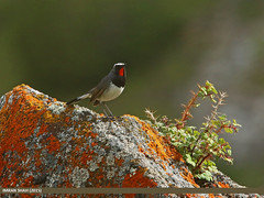 White-tailed Rubythroat (Luscinia pectoralis) (gilgit2) Tags: avifauna birds canon canoneos70d category fauna feathers geotagged gilgitbaltistan hunza imranshah location mandoszh pakistan sigma sigma150500mmf563apodgoshsm species tags whitetailedrubythroatlusciniapectoralis wildlife wings gilgit2 lusciniapectoralis 03birds